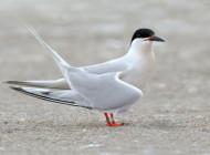 Roseate Tern by Mark Carmody