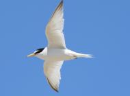 Little Tern by Karl Bishop