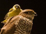Siskin on (!) a Sparrowhawk by Martin Grimm
