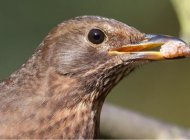 Blackbird by Edwyn Anderton