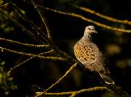 Turtle Dove. Photograph by Tom Streeter