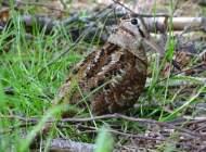 Woodcock, photograph by Hugh Insley