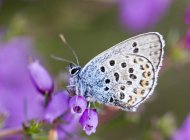 Silver Studded Blue by John Harding