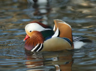 Mandarin Duck. Photograph by Neil Calbrade