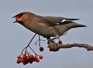 Waxwing by Margaret Holland