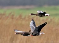 European White-fronted Geese by Chris Upson
