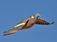 Woodpigeon by Clive Brown