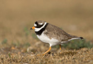 Ringed Plover photo by Liz Cutting
