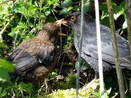 Blackbird with young bird by Moss Taylor/BTO