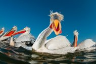 Dalmatian Pelican - Best Portrait by Bence Mate