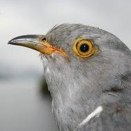 BB the Cuckoo