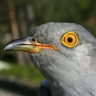 Roy the Cuckoo