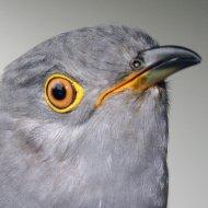 Iolo the Cuckoo