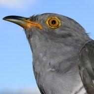Mungo the Cuckoo