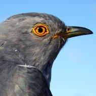 Dart the Cuckoo