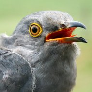 Nick the Cuckoo