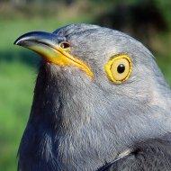 Walpole the Cuckoo