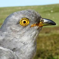 Wistman the Cuckoo