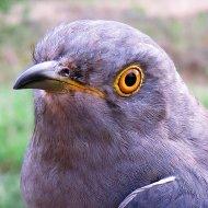 Jake the Cuckoo