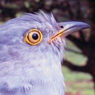 134962 the Cuckoo