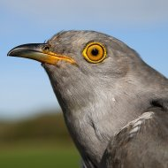 Peckham the Cuckoo
