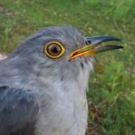 Bowie the Cuckoo