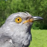 Raymond the Cuckoo