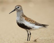 Dunlin by Christine Cassidy