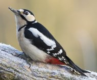 Great Spotted Woodpecker by Ben Dalgleish