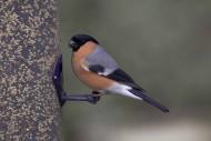 Bullfinch by John Harding