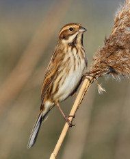 Reed Bunting by Nick Stacey