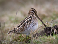 Snipe by Liz Cutting