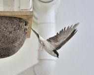 House Martin by Doug Welch