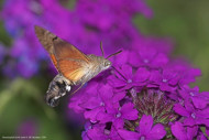 Hummingbird hawk-moth, by Jill Pakenham