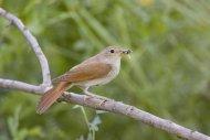 Nightingale by Edmund Fellowes