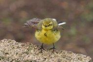 Yellow Wagtail by Jill Pakenham