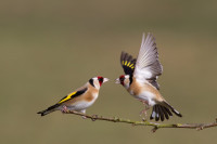 Goldfinch. Photograph by Edmund Fellowes