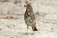 Song Thrush. photograph by Amy Lewis