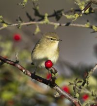 Chiffchaff on branch. Photo by Allan Drewitt/BTO