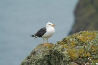 Lesser Black-backed Gull by Tom Bickerton