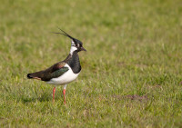 Lapwing. Photograph by Howard Stockdale