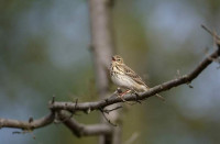 Tree Pipit. Graham Catley