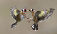 Goldfinch. Neil Schofield