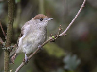 Blackcap, by Liz Cutting.jpg