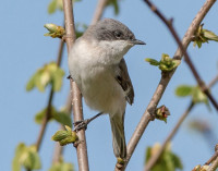 Lesser Whitethroat by Jeff Lack