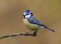 Blue Tit by Liz Cutting/BTO