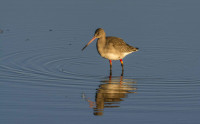 Colour-ringed Black-tailed Godwit. Photograph by Ruth Walker.