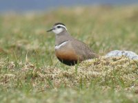 Dotterel by Peter M Wilson