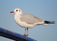 Black-headed Gull by Amy Lewis