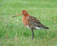 Black-tailed Godwit by Nigel Clark